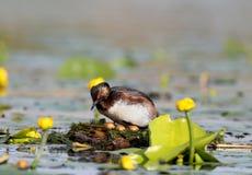 Le grèbe étranglé noir dans le plumage d'élevage gardant le nid Images libres de droits