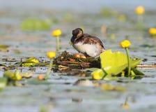 Le grèbe étranglé noir dans le plumage d'élevage tournent des oeufs dans le nid Photos stock