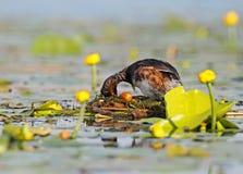 Le grèbe étranglé noir masculin dans le plumage d'élevage tournent des oeufs dans leur nid Image stock