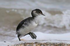 le grèbe Noir-étranglé dans le plumage d'hiver marche sur le bord de la mer photographie stock libre de droits