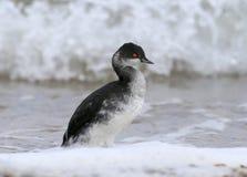 le grèbe Noir-étranglé dans le plumage d'hiver se tient sur le bord de la mer photo libre de droits