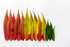 Le gradient a coloré des feuilles disposées dans une rangée Photographie stock