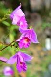 Orchidée en bambou Photo libre de droits
