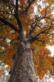 Le grand arbre d'automne branche la vue sur table d'écoute d'oeil Photographie stock