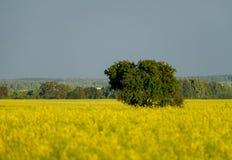 Le grand arbre dans le domaine jaune Photographie stock libre de droits