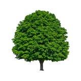 Le grand arbre de châtaigne vert se développe en isolation Photographie stock libre de droits