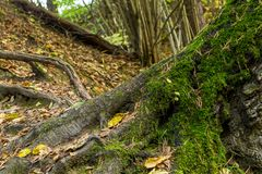 Le grand arbre de racines s'est embranché les racines puissantes couvertes de conception scénique de mousse de forêt verte de col photos libres de droits