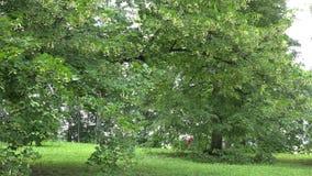 Le grand arbre de tilleul en parc et cycliste monte derrière l'arbre 4K banque de vidéos