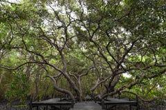 Le grand arbre vert de grand dans une forêt photos stock