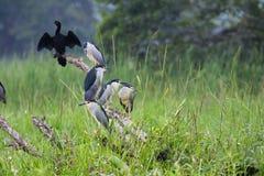 Le grand carbo de Phalacrocorax de cormoran photo stock