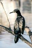 Le grand carbo de Phalacrocorax de cormoran séchant ses plumes image stock