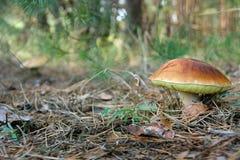 Le grand champignon blanc a grandi parmi les aiguilles de pin pendant l'automne Photographie stock