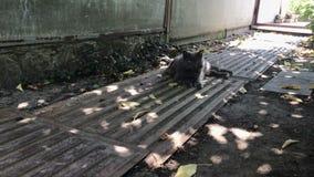 Le grand chat gris pelucheux se situe dans les ombres clips vidéos