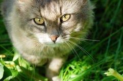 Le grand chat pelucheux aux yeux jaunes rustique vous regarde en gros plan Images libres de droits