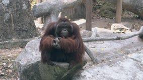 Le grand chef de singe d'orang-outan s'assied sur la roche grise et les repos banque de vidéos