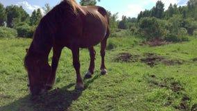 Le grand cheval brun frôle sur un pré Horizontal rural Le cheval mange l'herbe et conduit loin des insectes ondulant leur queue clips vidéos