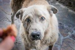 Le grand chien affamé sans abri avec les yeux tristes prie pour la nourriture Le h d'une femme photo stock