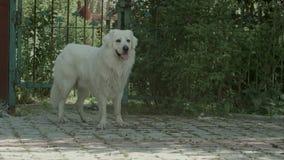 Le grand chien blanc respirent fortement dans le jardin photos stock