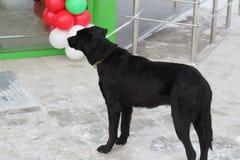 Le grand chien noir attend le maître à la porte du magasin Photos stock