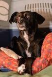 Le grand chien noir est dans le lit de chien Images stock