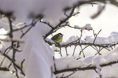 Le grand commandant de Parus de mésange avec un sein jaune reposant sur une branche après des chutes de neige Image libre de droits