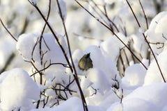Le grand commandant de Parus de mésange, s'asseyant dans la neige, a soulevé son bec vers le haut Images libres de droits