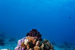 Le grand corail reculé de plume se repose sur le grand affleurement de corail avec la mer bleue à l'arrière-plan image stock