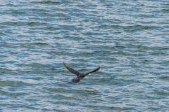 Le grand cormoran, carbo de Phalacrocorax volant au-dessus de Draycote arrose le lac au Royaume-Uni photographie stock libre de droits