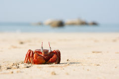 Le grand crabe rouge se reposant sur le sable Photographie stock libre de droits