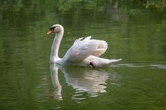 Le grand cygne blanc nage dans les eaux Photo libre de droits