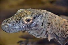 Le grand dragon de comodo de lézard photo libre de droits