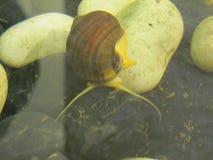 Le grand escargot dans l'eau, fin  photo stock
