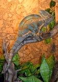 Le grand et beau caméléon attendant le dîner à l'exposition images libres de droits