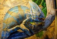 Le grand et beau caméléon est alimenté avec un ver à l'exposition photo libre de droits