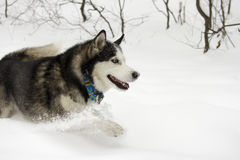 Le grand fonctionnement de neige d'hiver de belle de chien sauvage neige animale fière enrouée de loup saute par la neige Images stock
