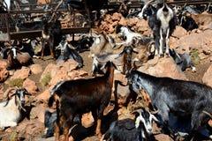 Le grand groupe de chèvres paresseuses juste à côté de la route isolée dans Péloponnèse, Grèce images stock
