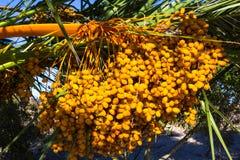 Le grand groupe de date jaune de paume porte des fruits sur le palmier Image libre de droits