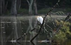 Le grand héron était perché sur l'arbre tombé au-dessus d'un lac, Walton County, la Géorgie Etats-Unis images libres de droits