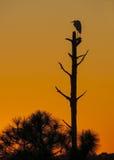 Le grand héron blanc observe le coucher de soleil Photographie stock