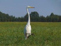 Le grand héron blanc se tient sur une jambe dans le domaine d'herbe verte photographie stock libre de droits