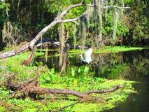 Le grand héron effectue le vol le long de la banque d'une rivière de la Floride image stock