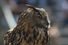 Le grand hibou à cornes dans le profil est prêt pour effectuer le vol photographie stock libre de droits