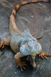 Le grand iguane vert avec la queue rayée regarde fixement par le verre dans le zoo de Kiev image libre de droits