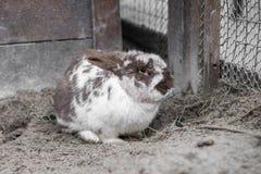 Le grand lapin repéré se repose Images libres de droits