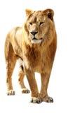 Le grand lion a isolé des stands Photos stock