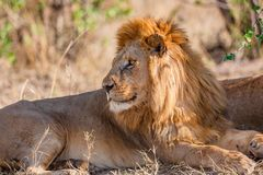 Le grand lion masculin sauvage se repose sous un arbre en Afrique Photo libre de droits