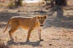 Le grand lion sauvage marche dans Serengeti Afrique Image libre de droits