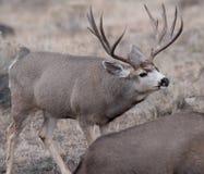 Le grand mâle de cerfs communs de mule reprend sur le parfum Images stock
