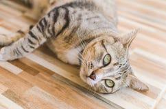 Le grand oeil d'un chat Photographie stock
