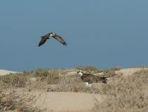 Le grand oiseau d'osprey est resté dans les buissons Image stock